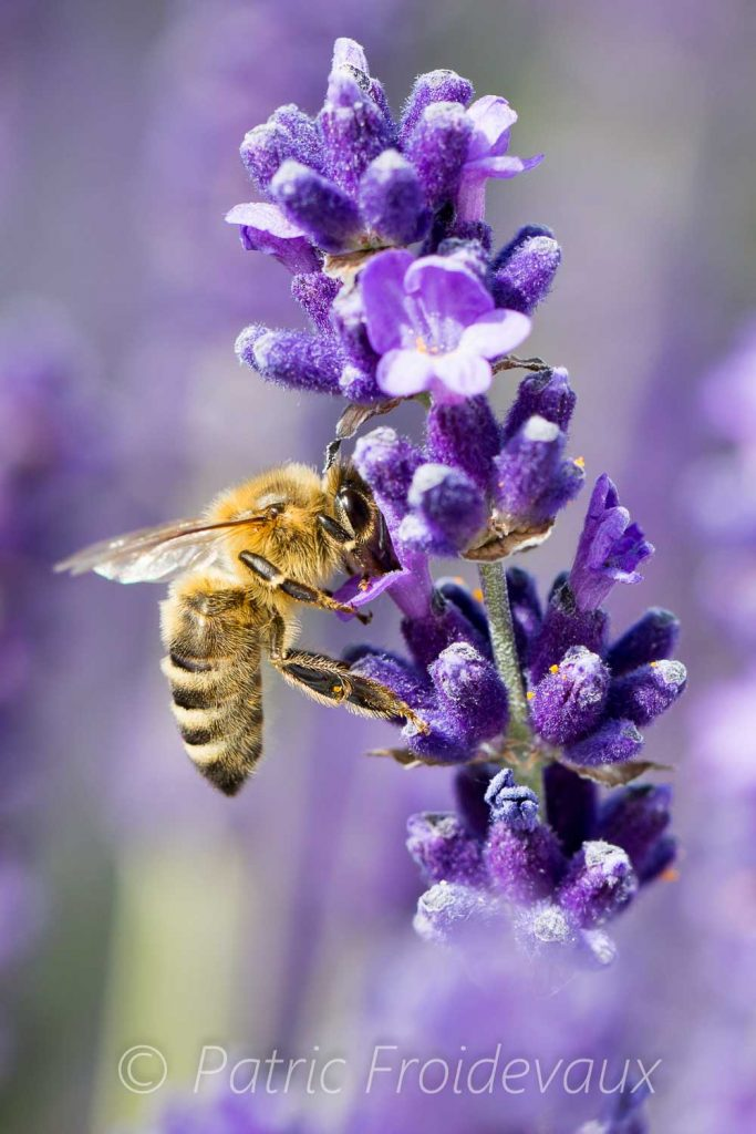 Bee foraging on lavender