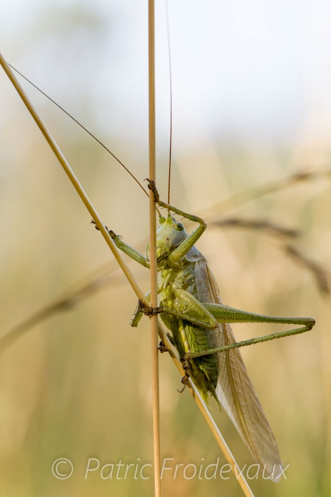Large green grasshopper (Tettigonia viridissima), seems to be moving on stilts