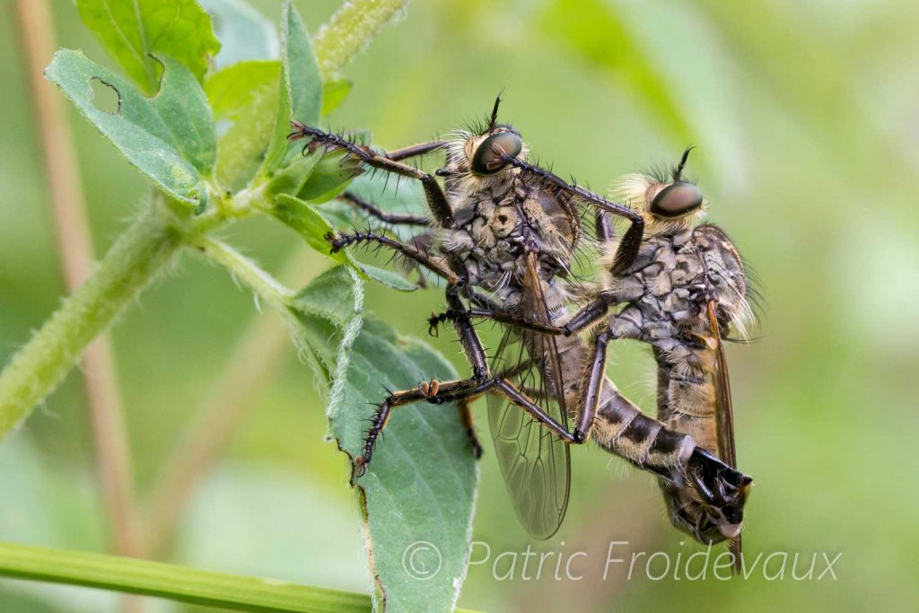 Fleece flies (Efferia aestuans) mating