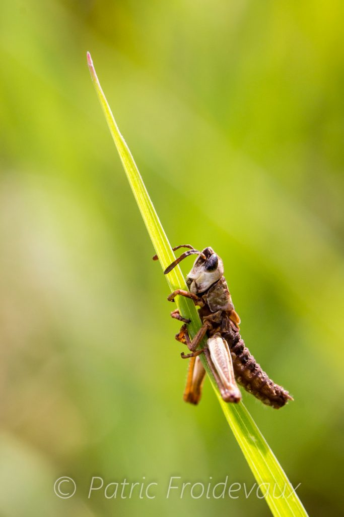 Death grasshopper clinging to a grass