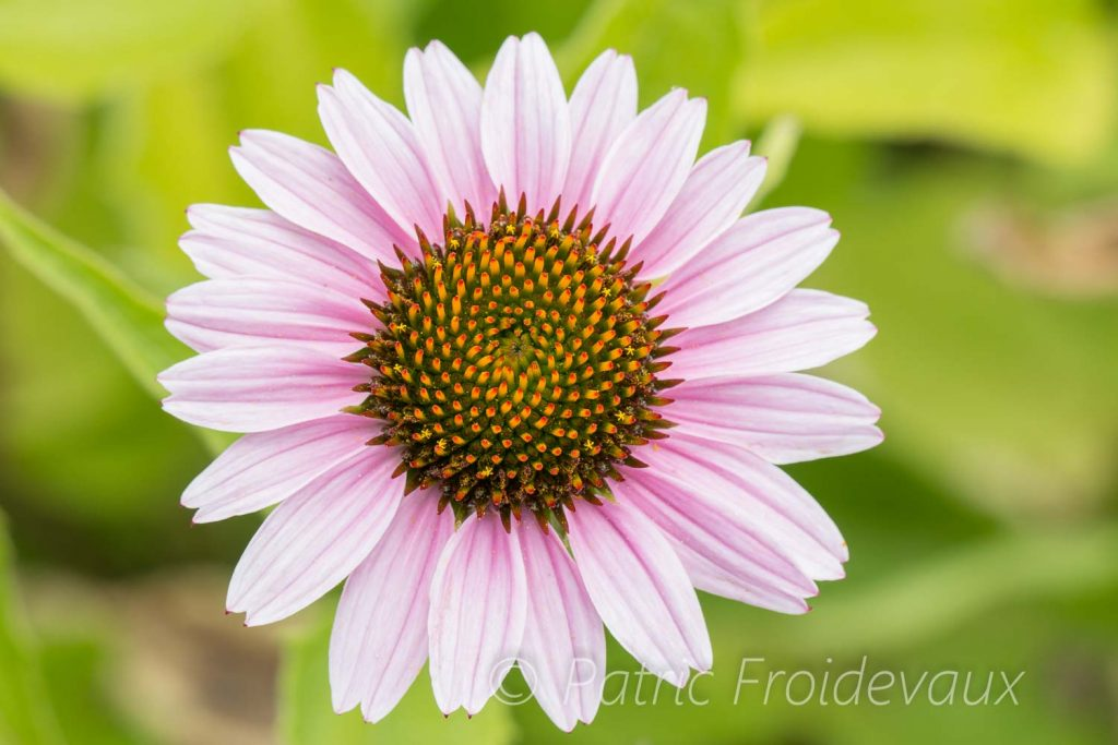 Eastern purple coneflower (Echinacea purpurea)