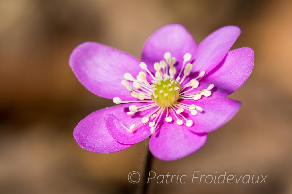 Anémone hépatique (Hepatica nobilis)