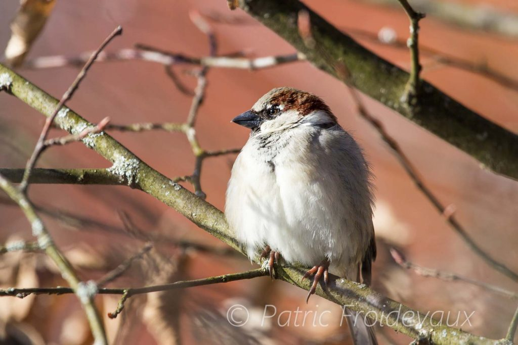 House Sparrow blowing its feathers in cold weather at the Lac Sauvabelin Lausanne