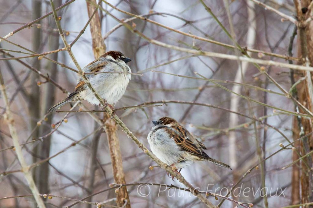House Sparrows in cold weather, Lac Sauvabelin, Lausanne