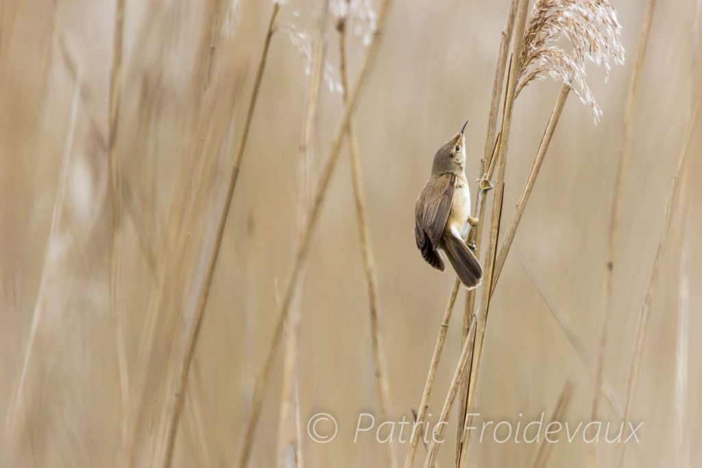 A eurasian reed warbler hunting insects in the reeds in Gletterens