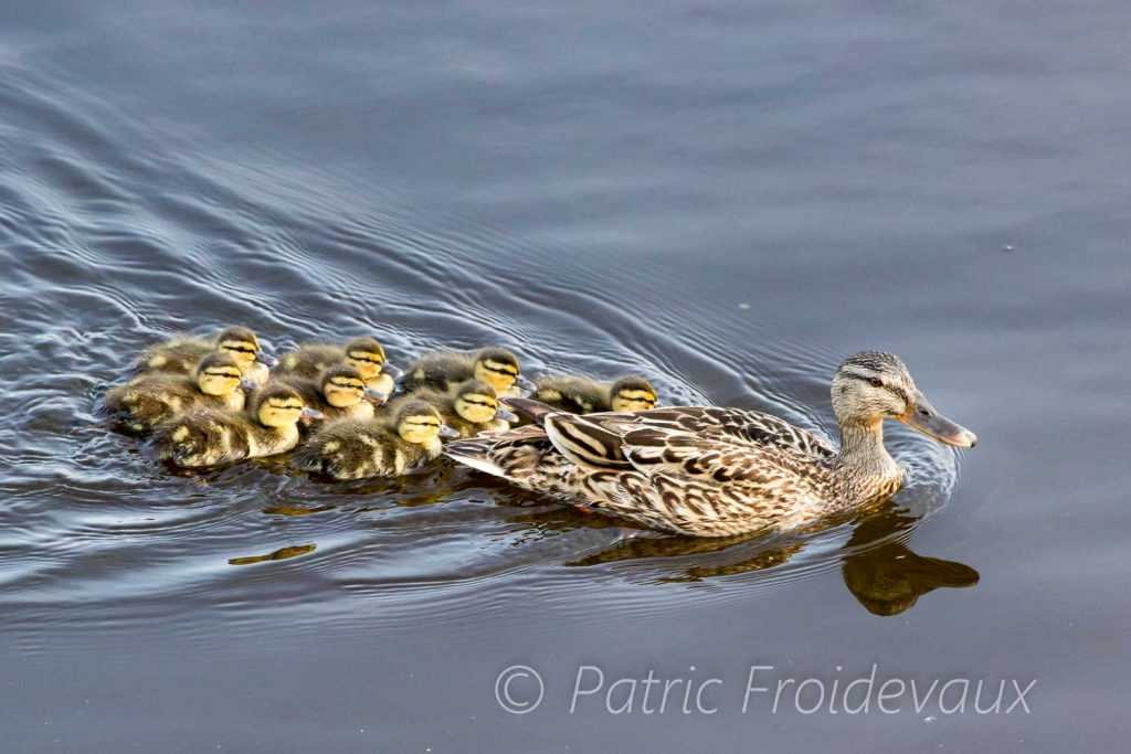 These beautiful ducklings are literally glued to each other behind their mom, at Pro Natura Center in Champ-Pittet