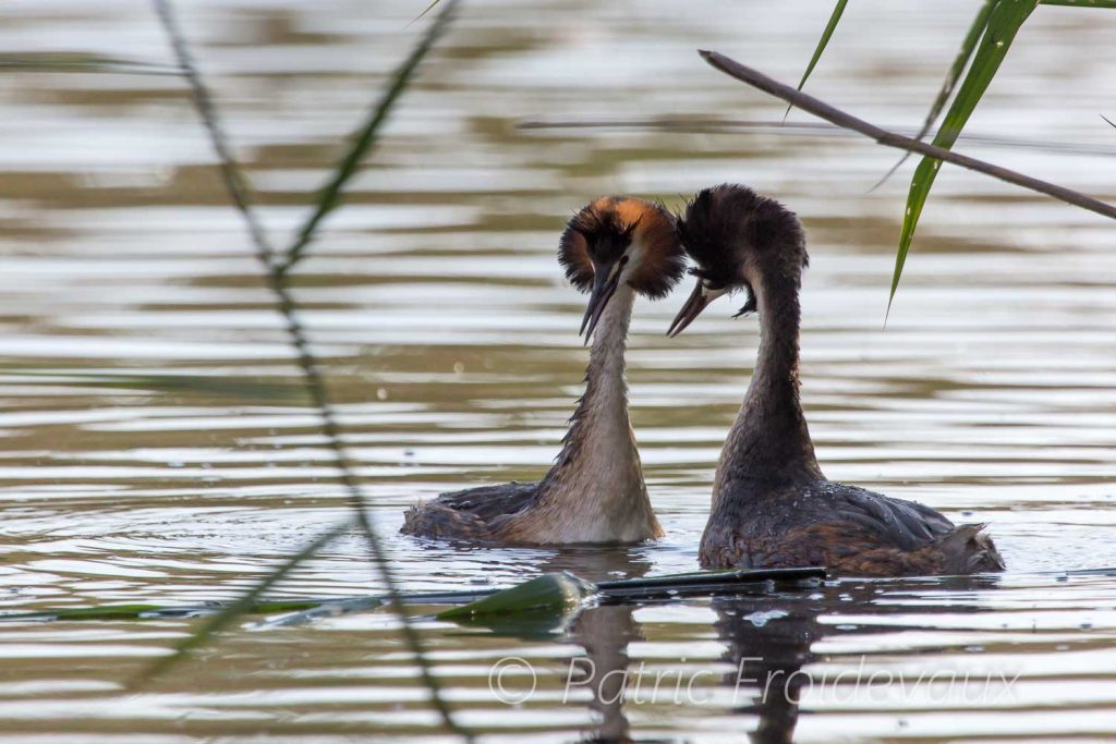 Great crested grebes courtship display at Pro Natura Center in Champ-Pittet