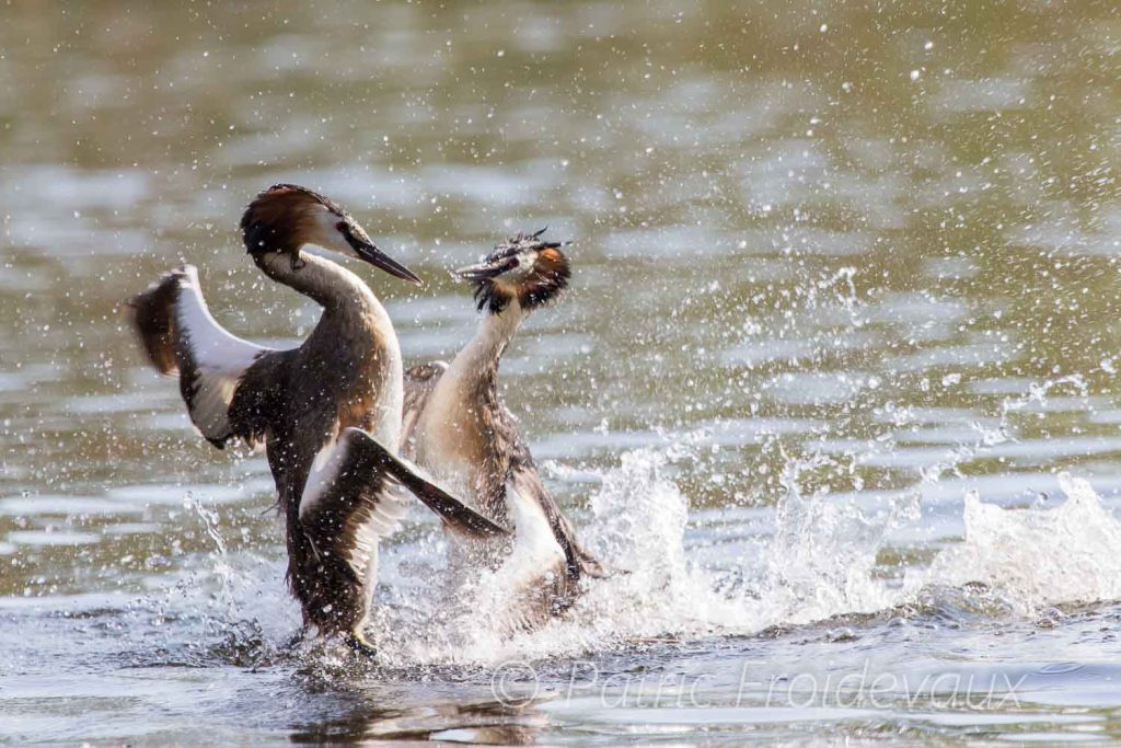 Two great crested grebes in intense but elegant fight at Pro Natura Center