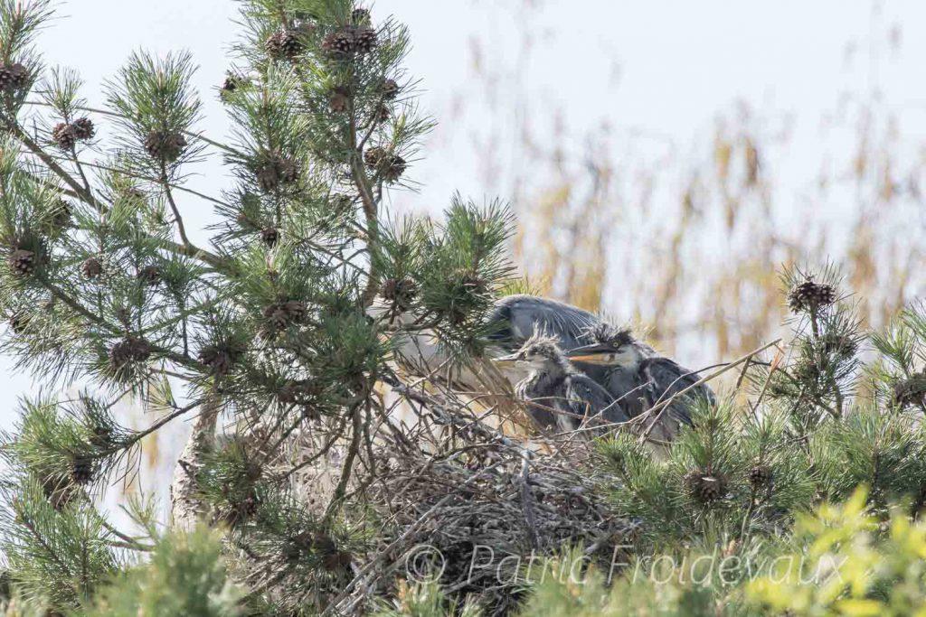 Grey herons (Ardea cinerea) in Sempach