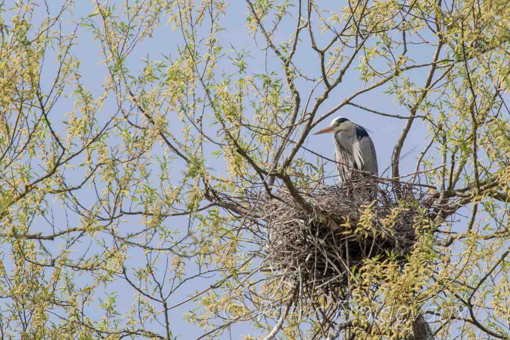Grey heron (Ardea cinerea) in Sempach
