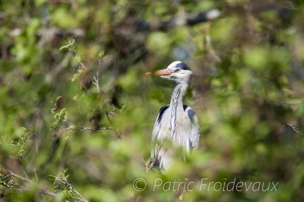 Grey heron (Ardea cinerea) in Villars-les-Dombes