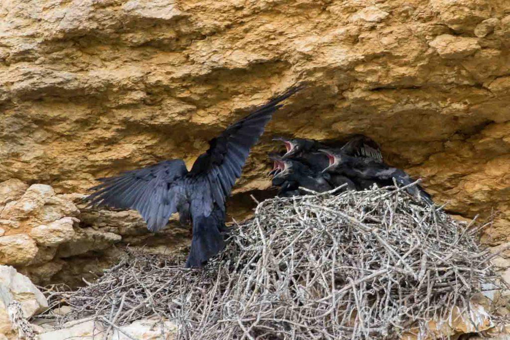 Young Common ravens (Corvus corax)