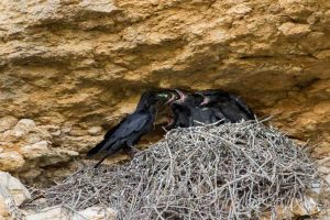 Jeunes grands Corbeaux (Corvus corax)