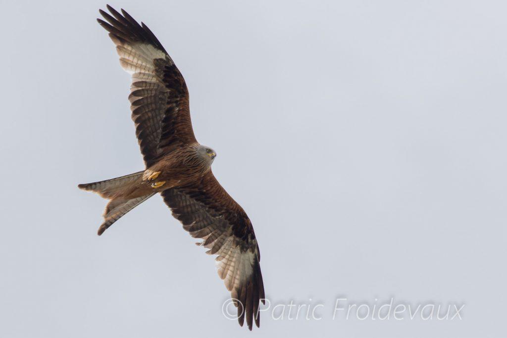Red kite (Milvus milvus) in Charmey