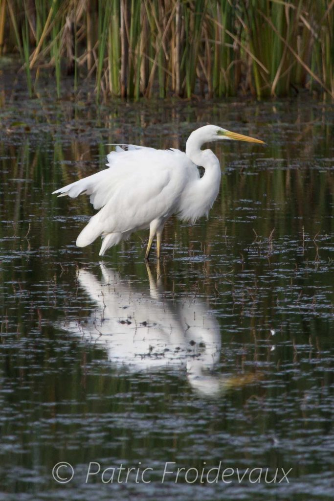 A great egret in Creux-de-terre in Chavornay
