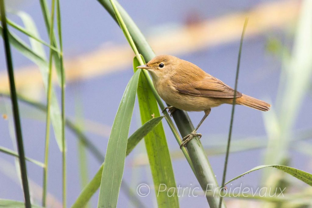 A eurasian reed warbler at the small pond of BirdLife Nature Centre La Sauge in Cudrefin
