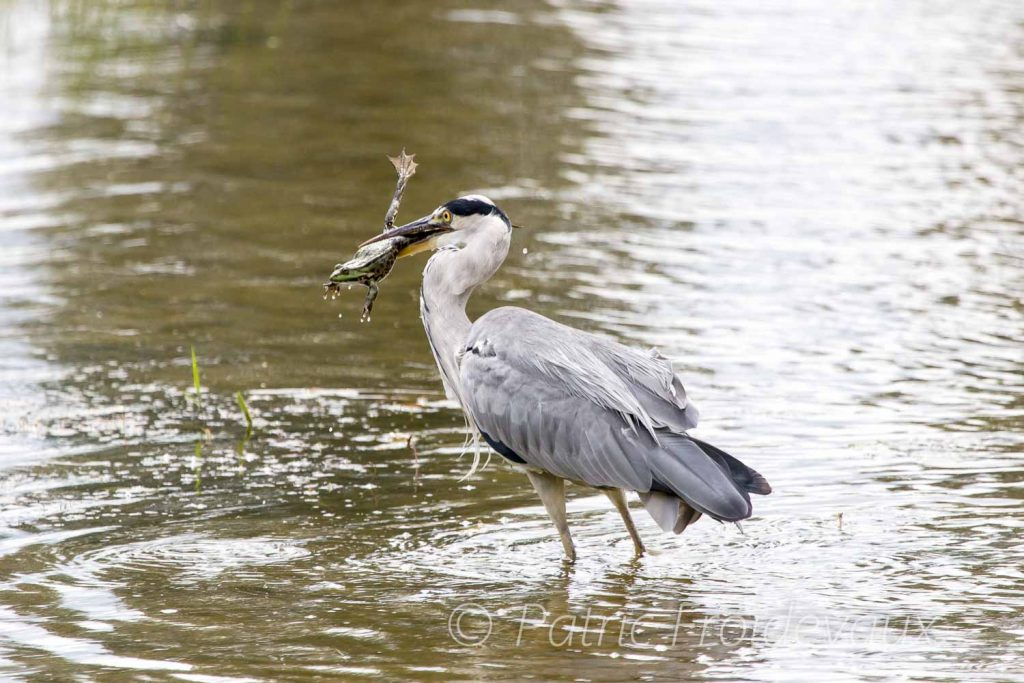 This grey heron caught a huge frog in the big pond of BirdLife Nature Centre La Sauge in Cudrefin