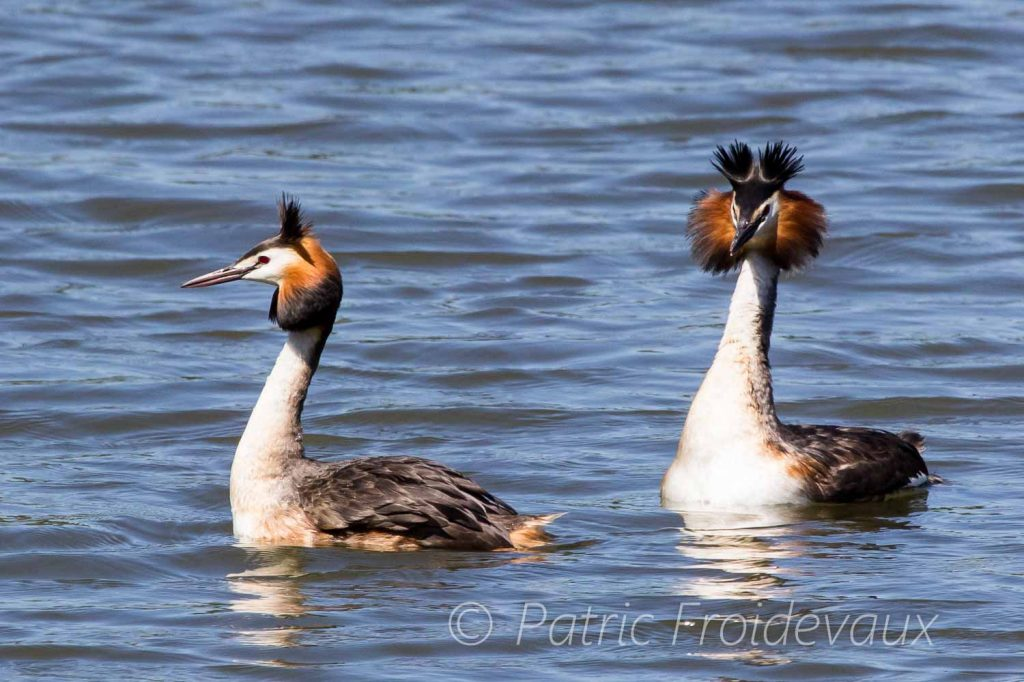 Two great crested grebes courtship display in the Grangettes nature reserve