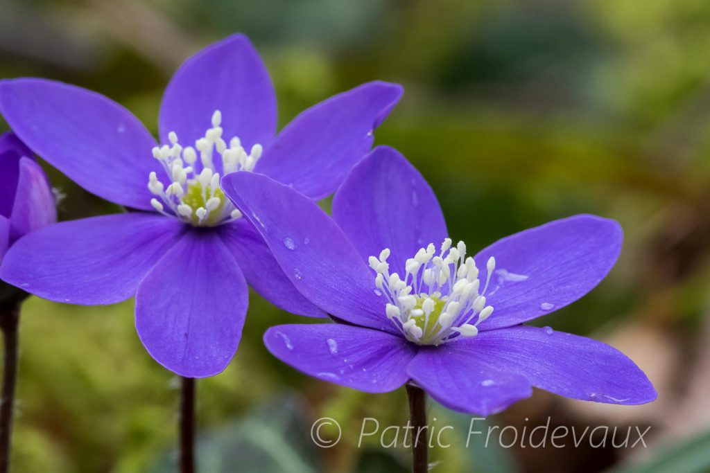 Hépatique noble (Hepatica nobilis)