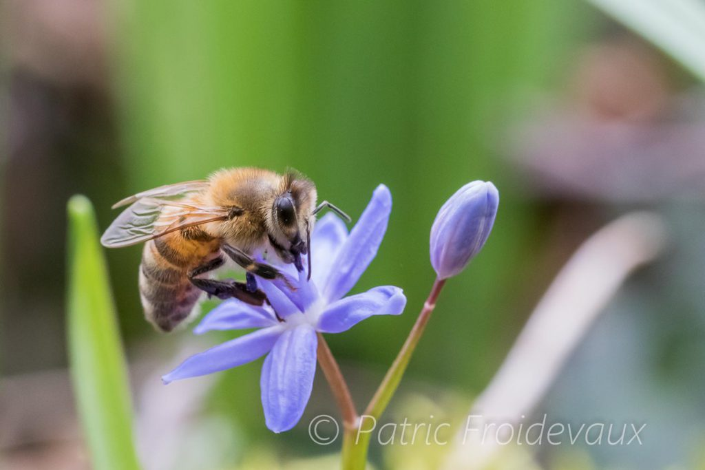 Bee on a two-leaf squill (Scilla bifolia)
