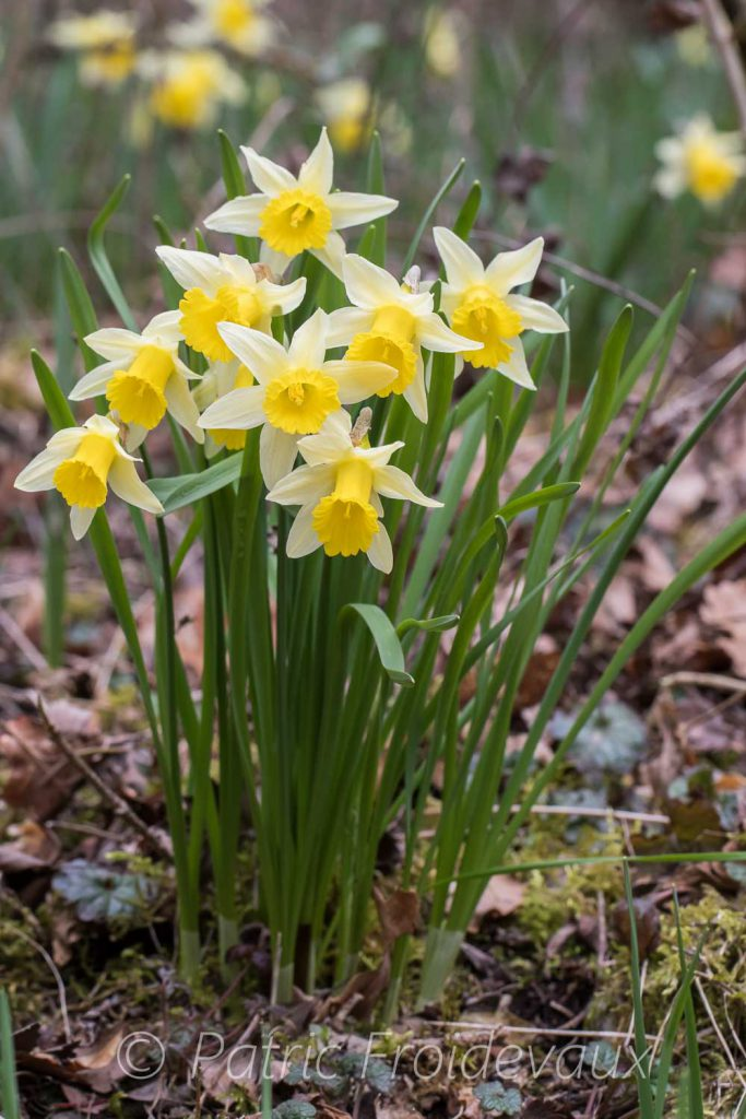 Jonquilles (Narcissus pseudonarcissus)