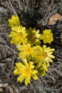 Adonis de printemps (Adonis vernalis)