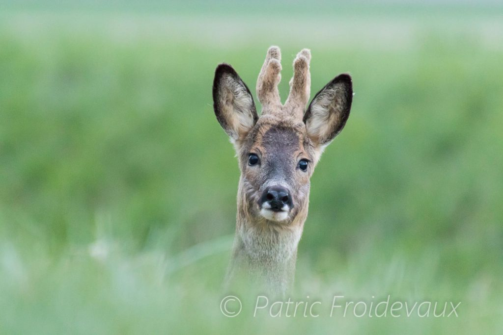 Portrait of a male european roe deers (Capreolus capreolus)