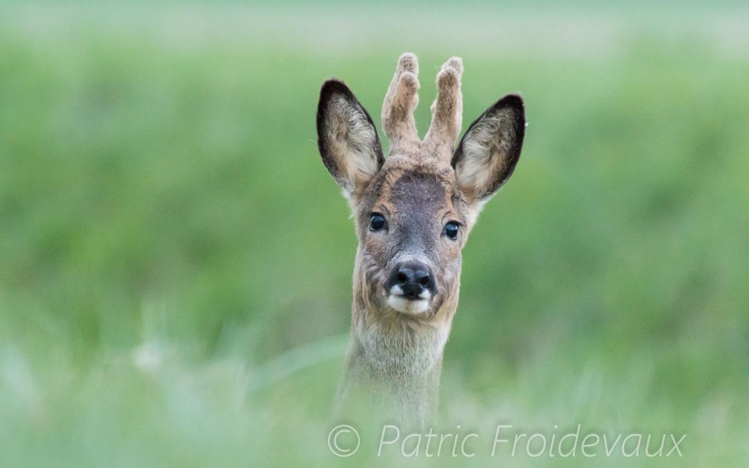 01.04.2017 – The european roe deers of Creux-de-terre