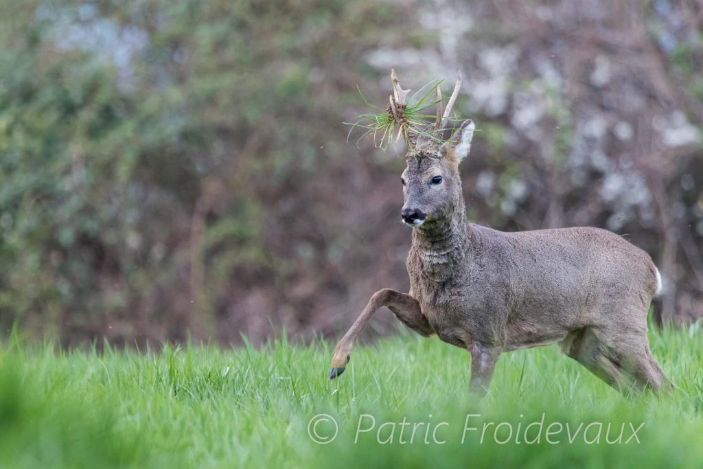 European roe deer (Capreolus capreolus) during a fight
