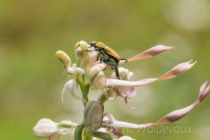 Coléoptère indéterminé sur un Orchis bouc (Himantoglossum hircinum)