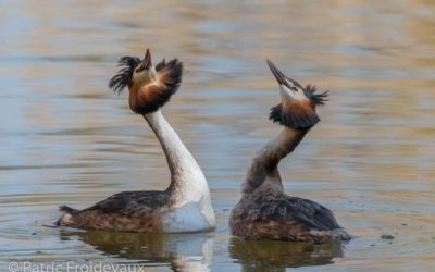 30.03.2019 – The great crested grebes of Champ-Pittet